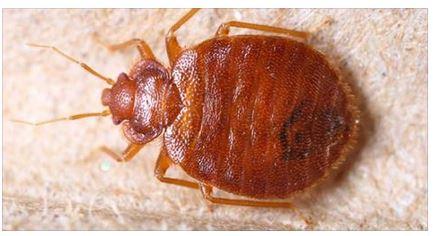 Punture di cimici da letto succhiano sangue mentre dormi scienza - Punture di insetti nel letto ...